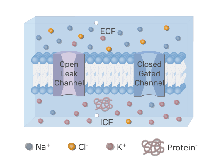 An image showing the ion channels (gated and leak) [Labeled], ICF (Intracellular fluid) and ECF (Extracellular fluid) with neuron cell membrane and the proteins inside