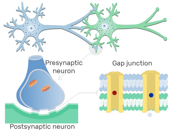 An image showing ions diffusion through the connexons of the gap junction of an electrical synapse which is between presynaptic and postsynaptic neurons