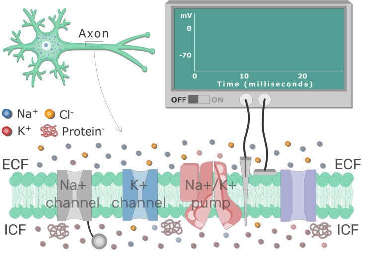 An image showing different types of channels (K channel - Na channel - Na-K pump are labeled) in the (neuron) cell membrane (between ICF and ECF)