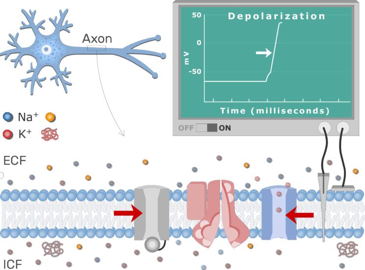 An image showing K+ ions diffusion after K voltage-gated channels opening, the neuron axon membrane is enlarged and contains different channels