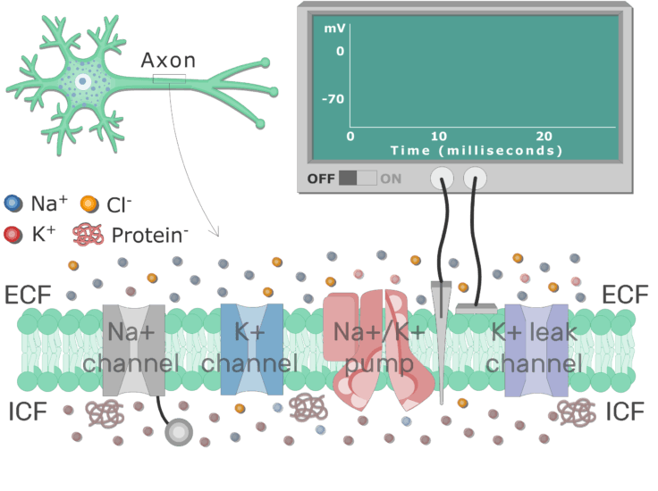 An image showing K ions diffusion through leak channel, there are 4 channel types in the image (Na channel, K channel, Na-K-ATPase, and K leak channel)