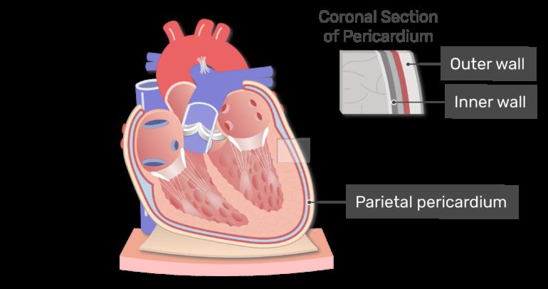 Labelled image of the parietal pericardium
