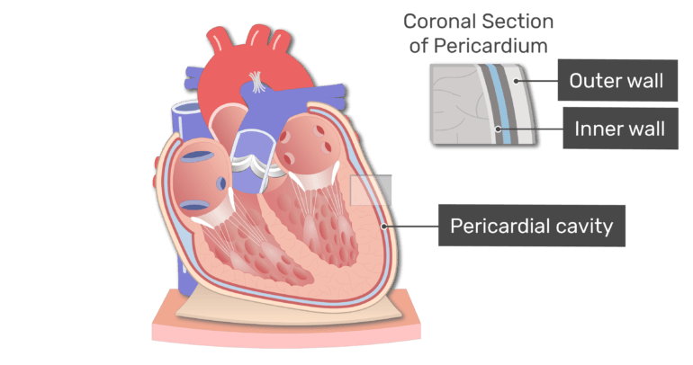 Labelled image of the pericardial cavity