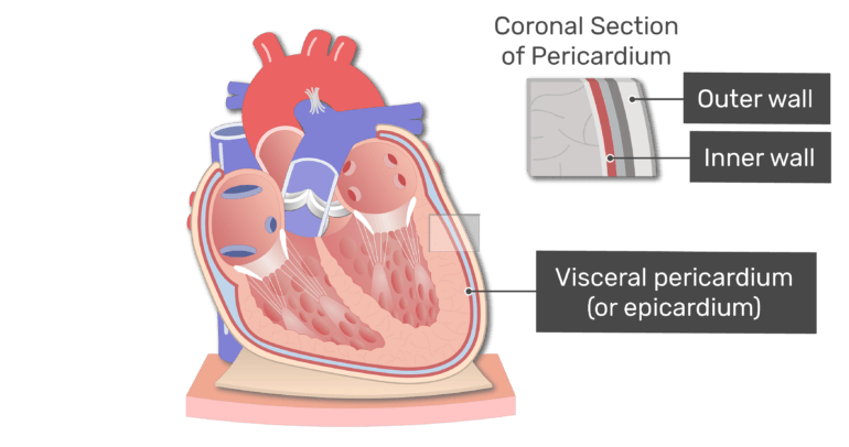 Labelled image of the visceral pericardium