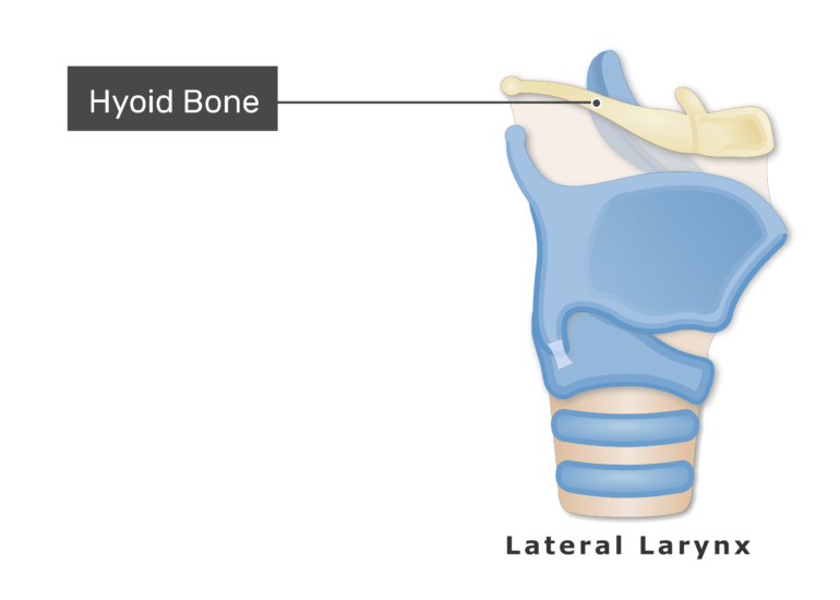 The hyoid bone on lateral view