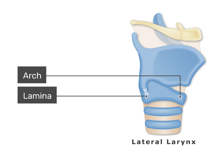 The cricoid cartilage on lateral view