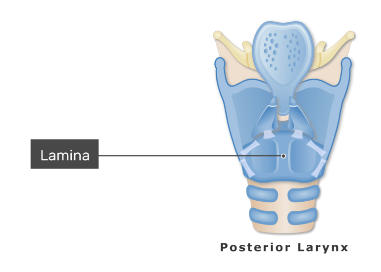 The cricoid cartilage on posterior view