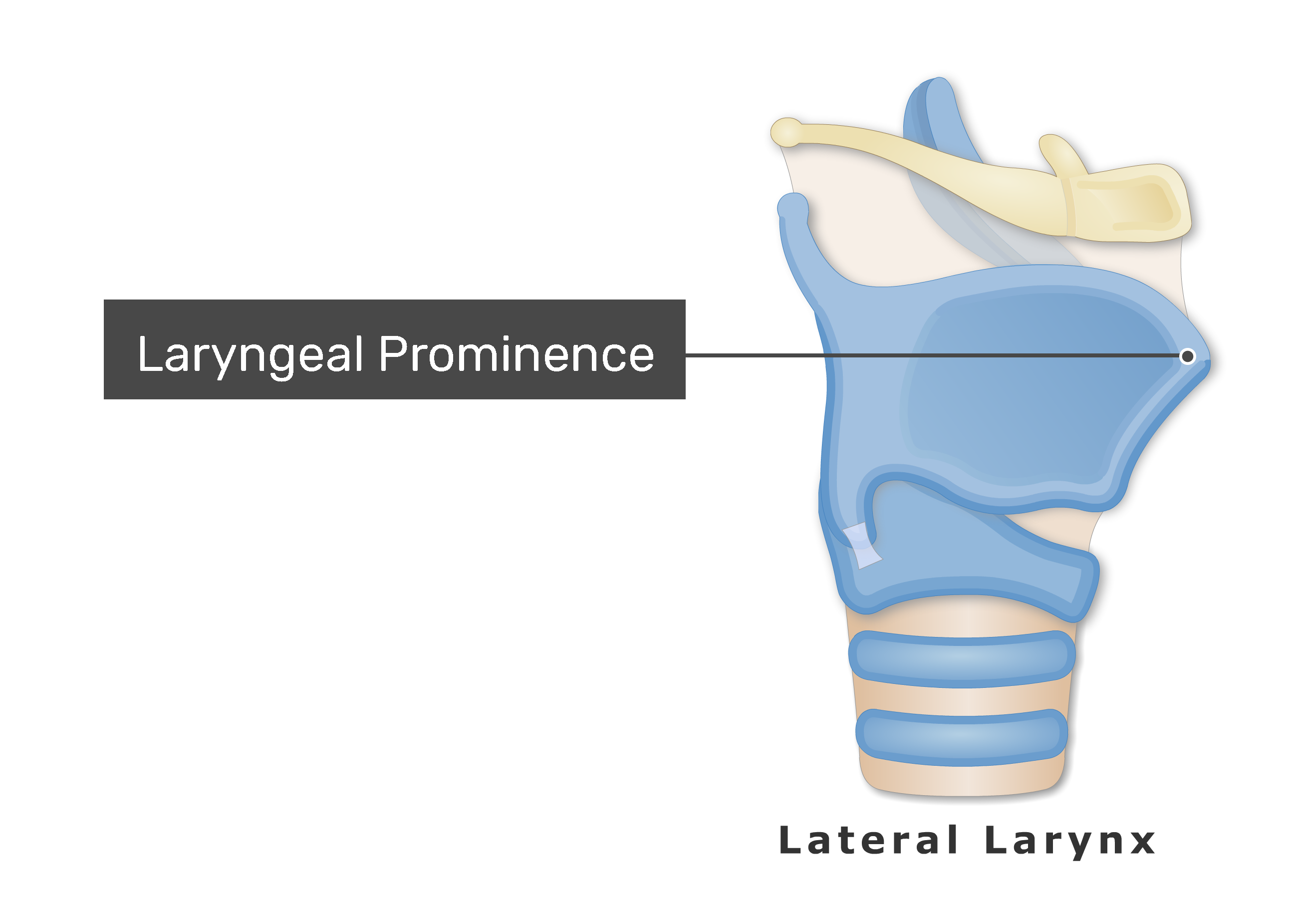 Laryngeal Prominence on lateral view