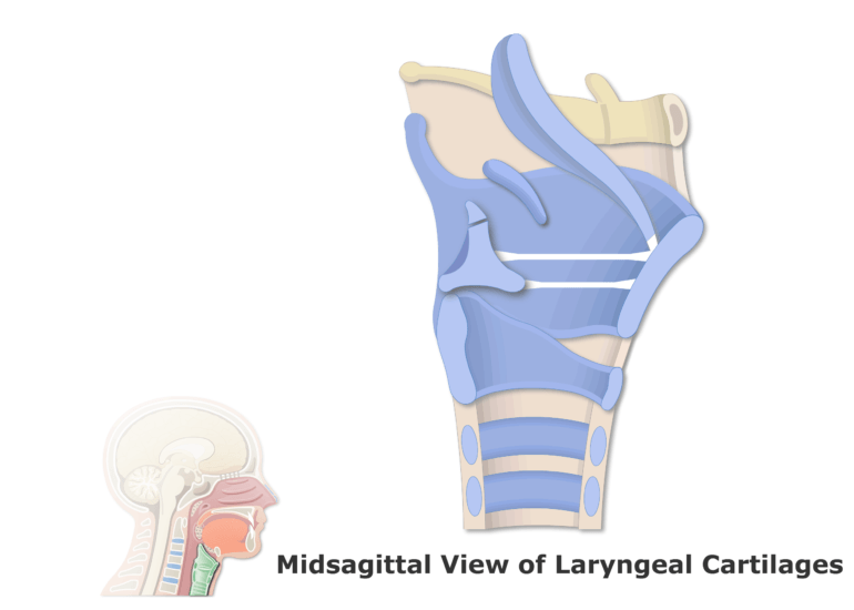 A midsagittal view of the laryngeal cartilages