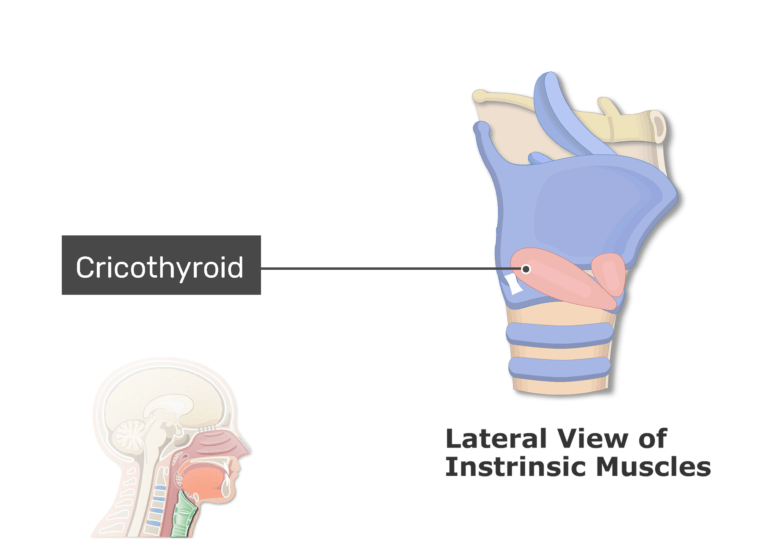 A midsagittal view of the ligaments and membrane with label cricothyroid