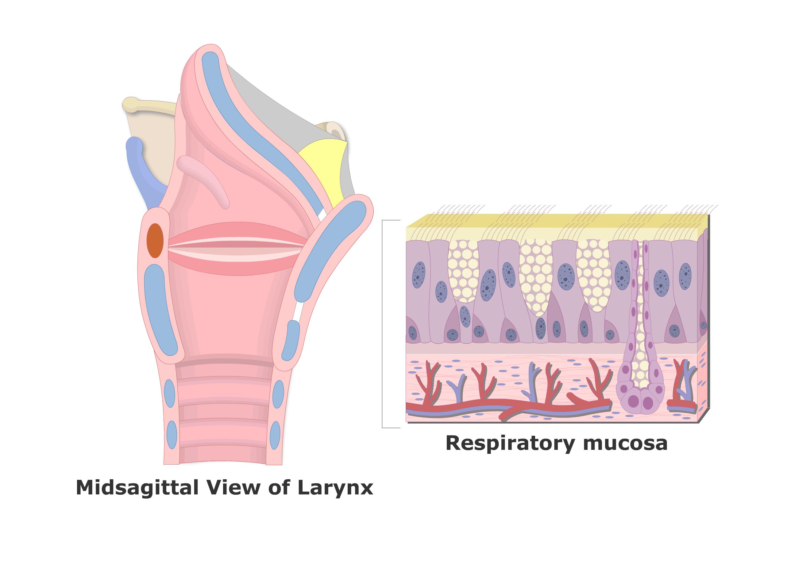 Famous The Larynx Embellishment - Human Anatomy Images ...
