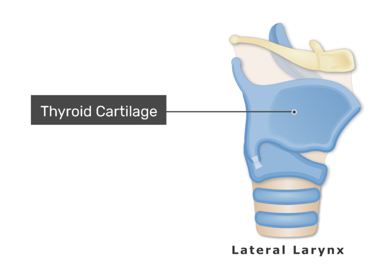 Thyroid And Cricoid Cartilages Of The Larynx