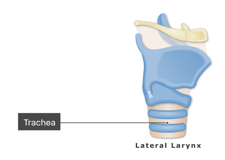 The trachea on lateral view
