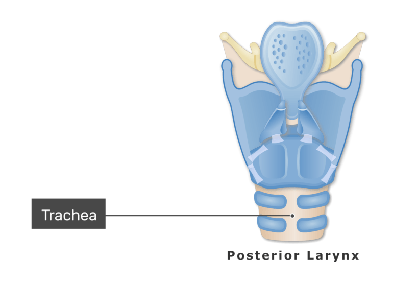 The trachea on posterior view