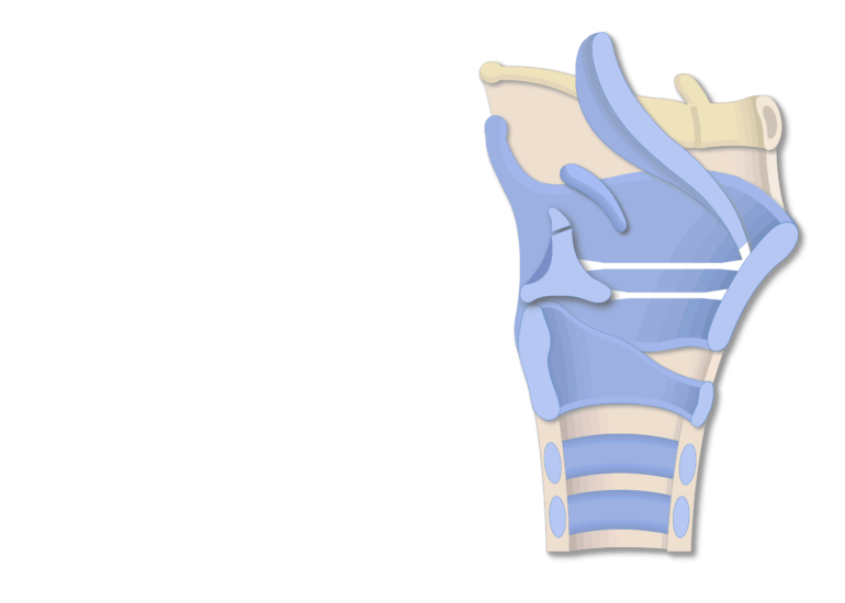 The lateral view of the larynx