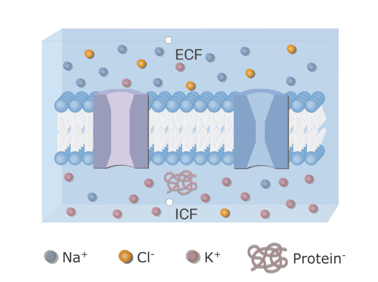 An image showing the ion diffusion through leak channels with neuron cell membrane in addition to ion channels (gated and leak) and the proteins inside