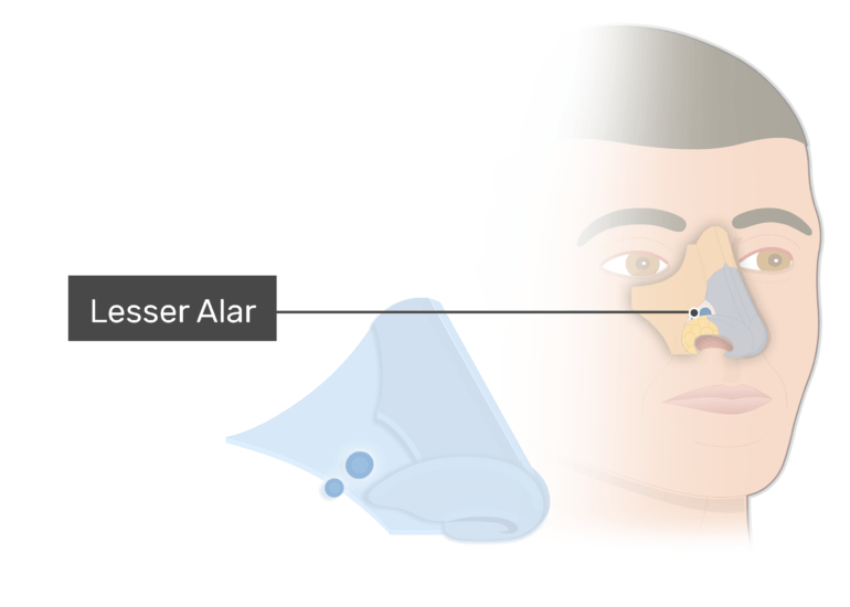 The lesser alar cartilage - nasal cartilages