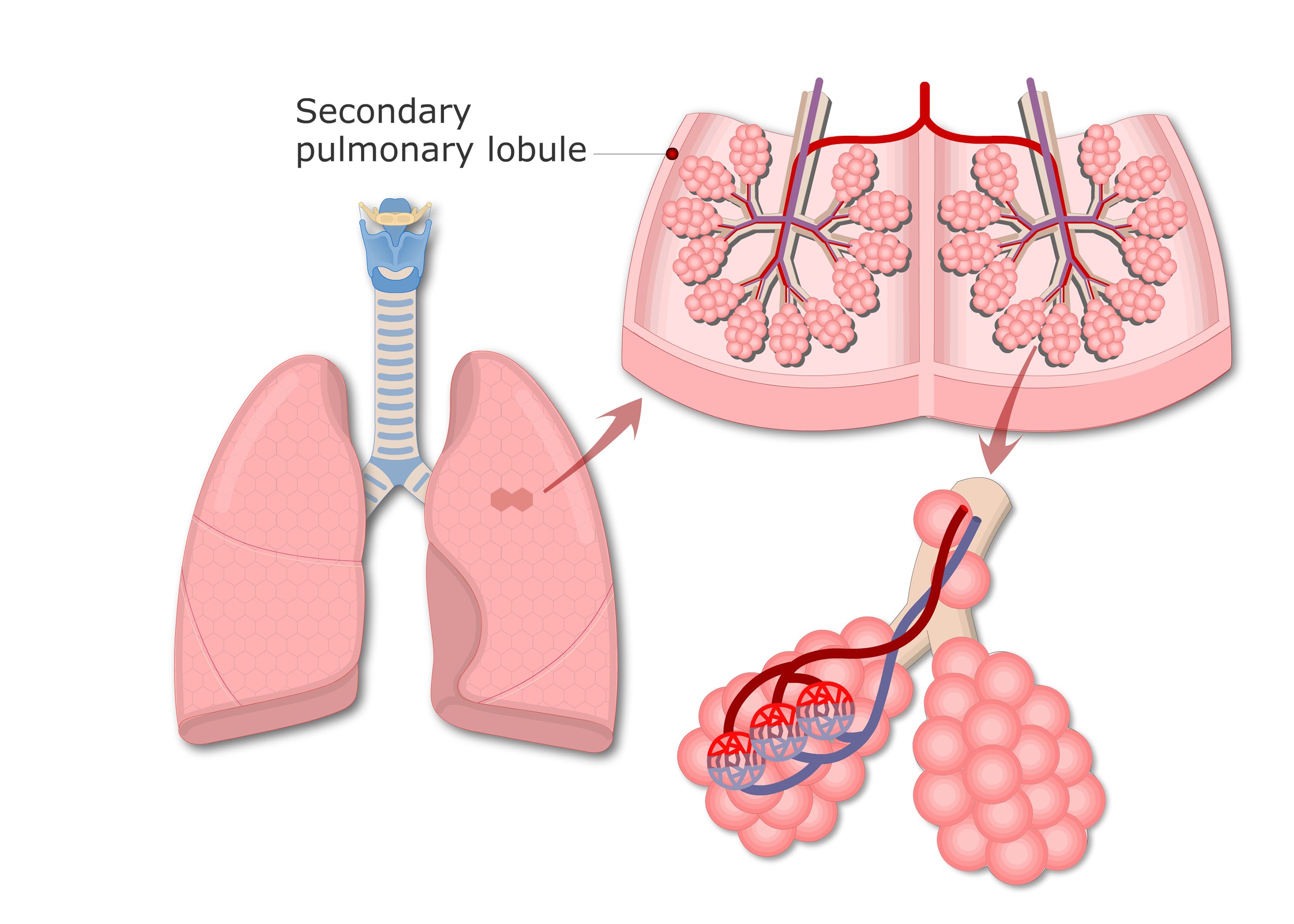 Lung Alveoli - Location of Alveolar Ducts and Alveolar Sacs