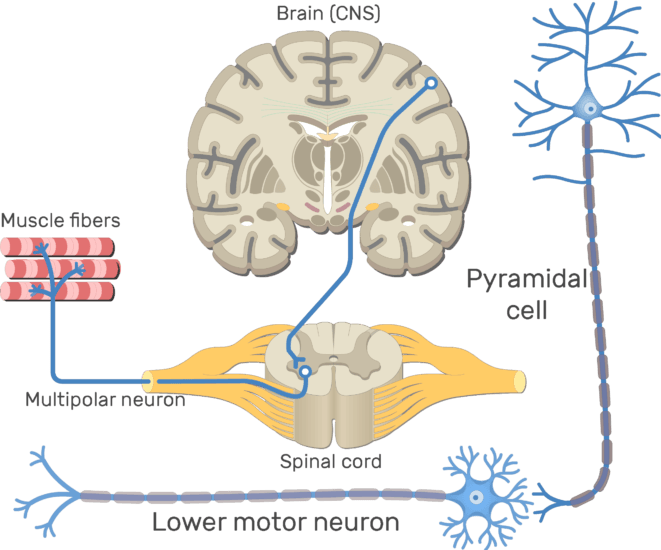 An image showing the Lower motor neuron which is multipolar neuron between the pyramidal neuron and the Effective organ