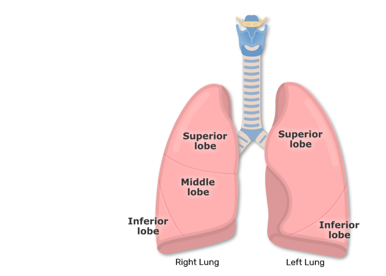 The right and left lung with labeled lobes