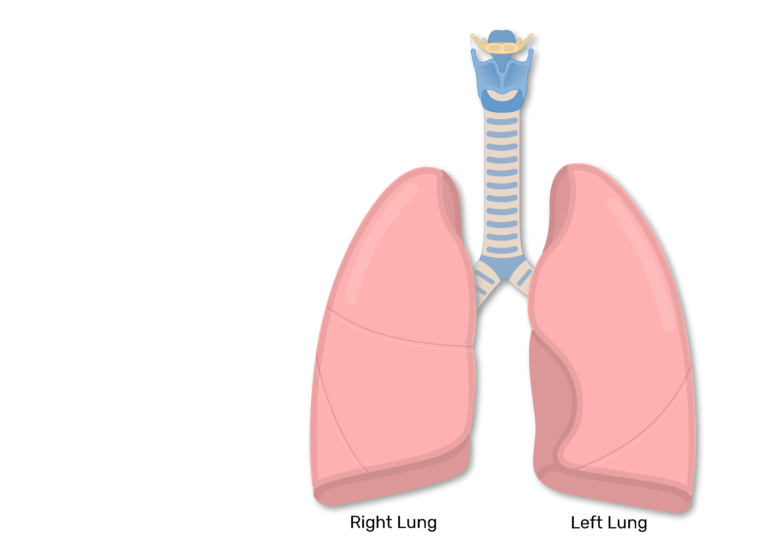 The right and left lung