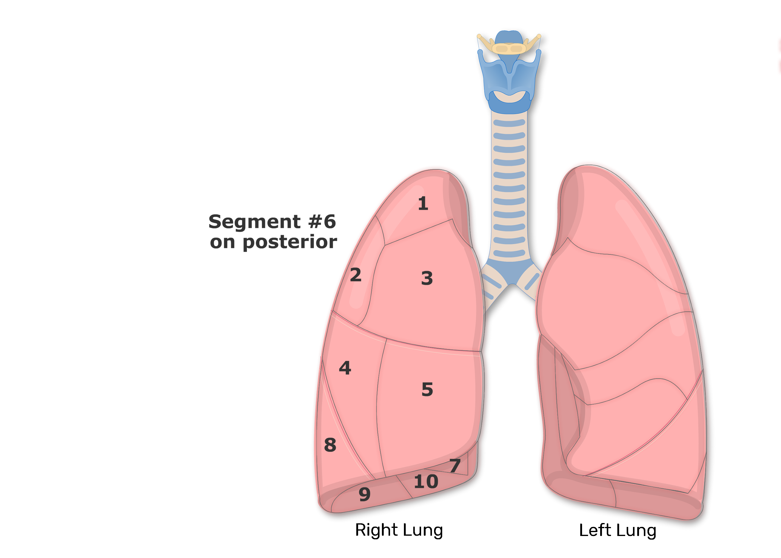10 Segments shown on the Right Lungs