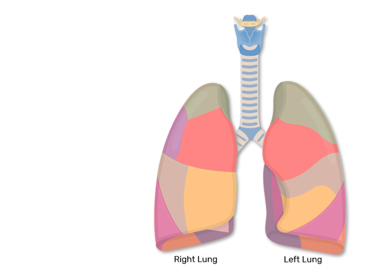 Bronchopulmonary Segments of the Lungs | Lung Segments | Tertiary ...