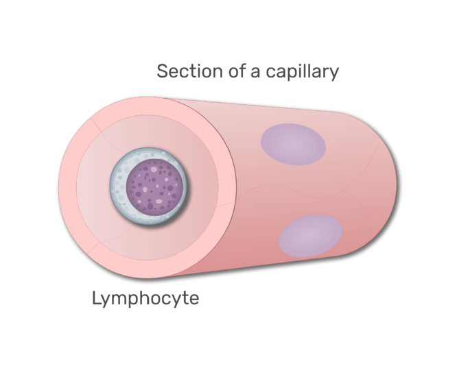 A lymphocytes in a section of capillary animation slide 7