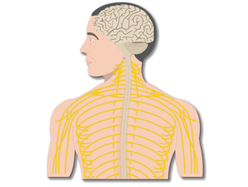 Major Organs and Divisions of the Nervous System - Featuted