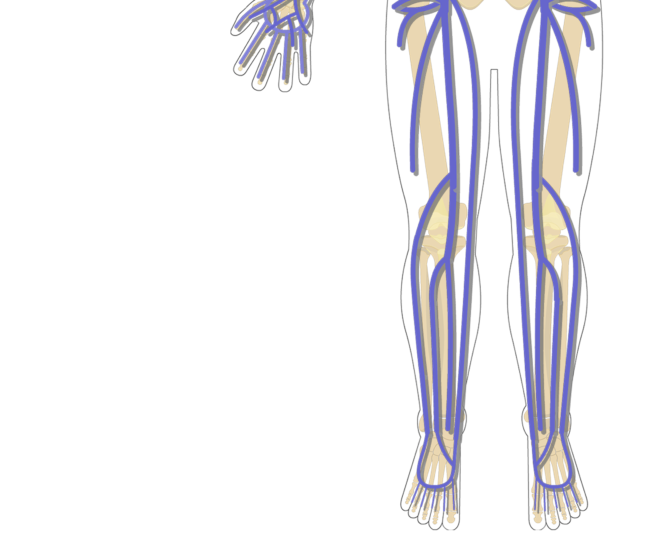 Unlabelled image of the major systemic veins of the thigh and leg/