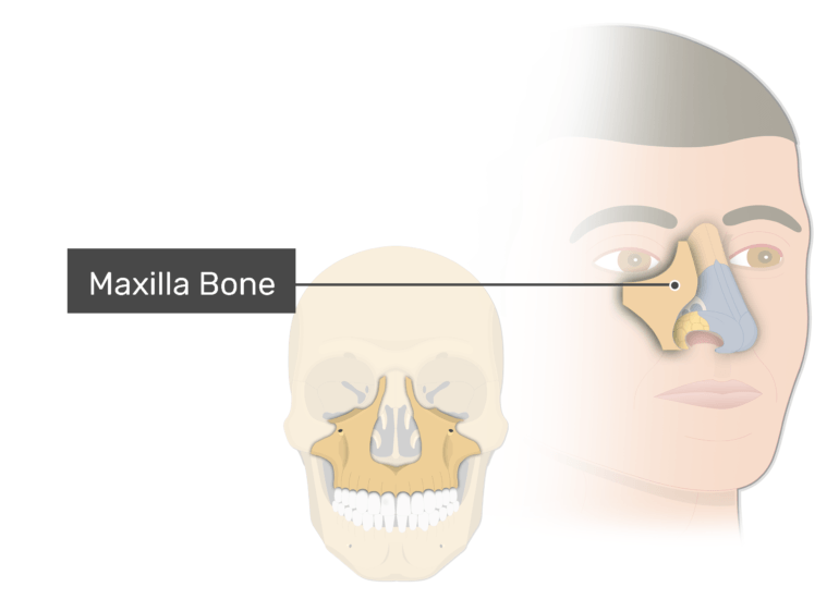 The maxilla bone