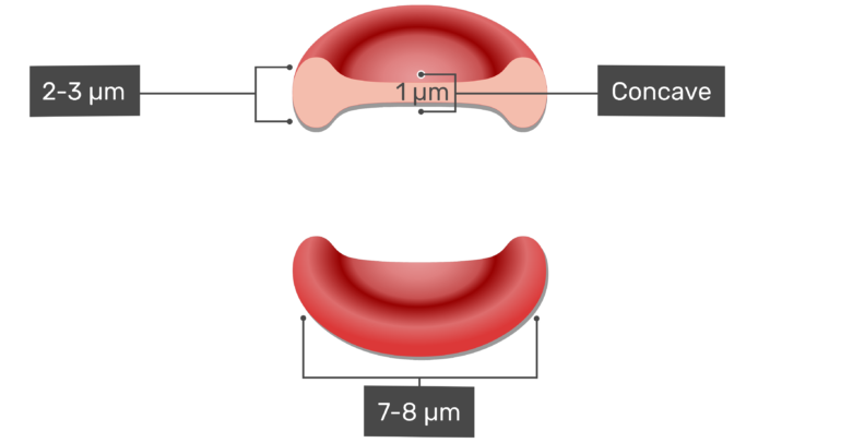 The measurements of the thickest and thinnest areas of a red blood cell