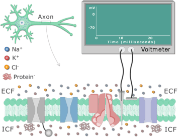 An image showing how to measure the resting membrane potential using voltmeter with 2 electrods