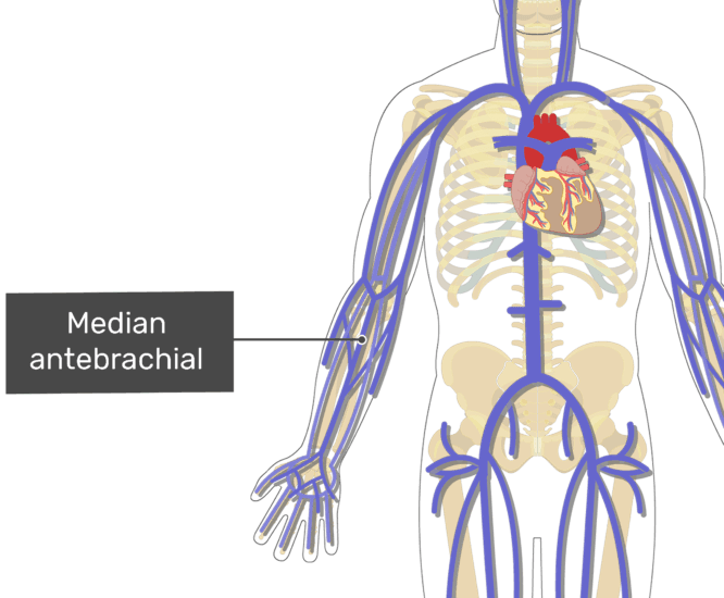 Labelled image of the median anterbrachial vein.