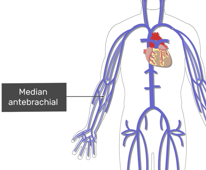 Labelled image of the median anterbrachial vein with the skeleton off.