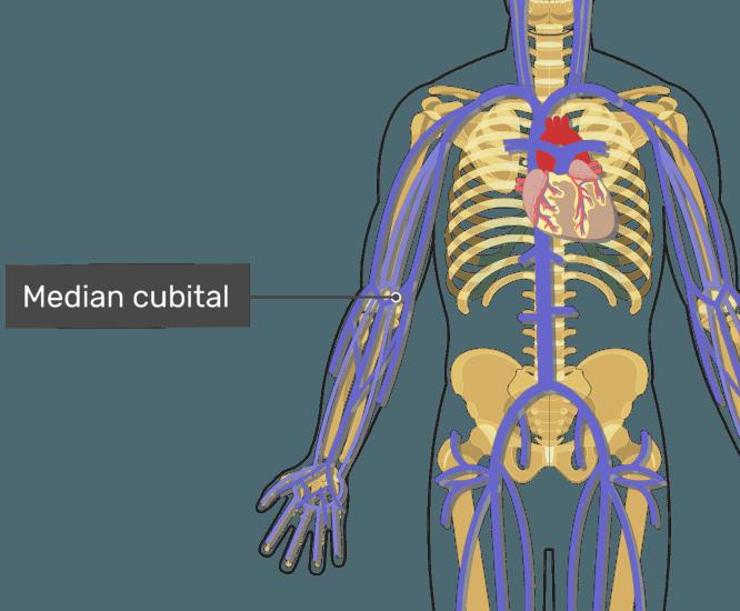 Labelled image of the median cubital.