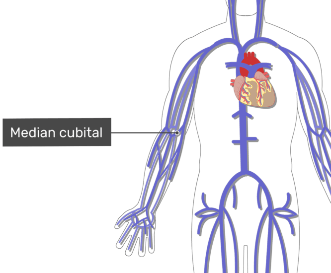 Labelled image of the median cubital vein with the skeleton off.
