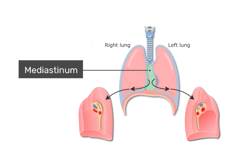 Lungs and mediastinum labeled