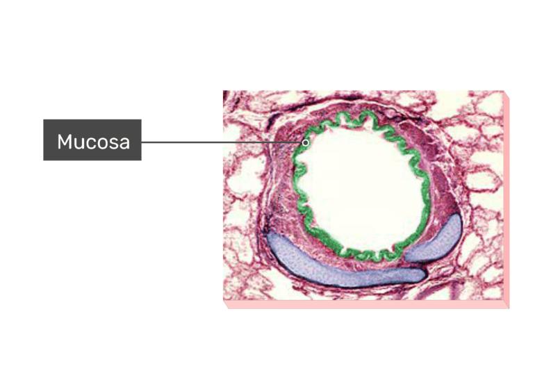 Micrograph Mucosa
