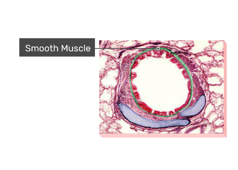 Micrograph Smooth Muscle