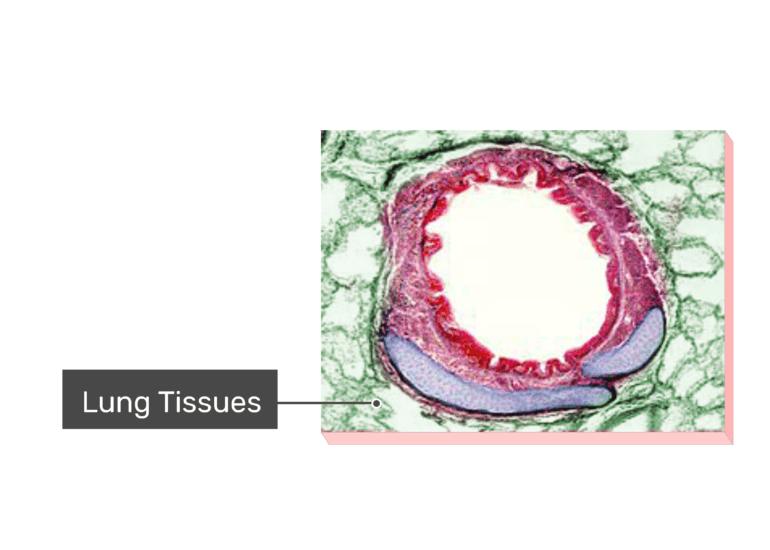 Micrograph Tissues