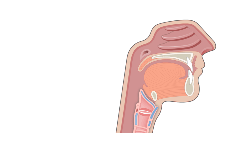 A midsagittal view of the mouth