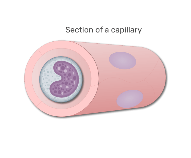 A monocyte in a section in capillary animation slide 7