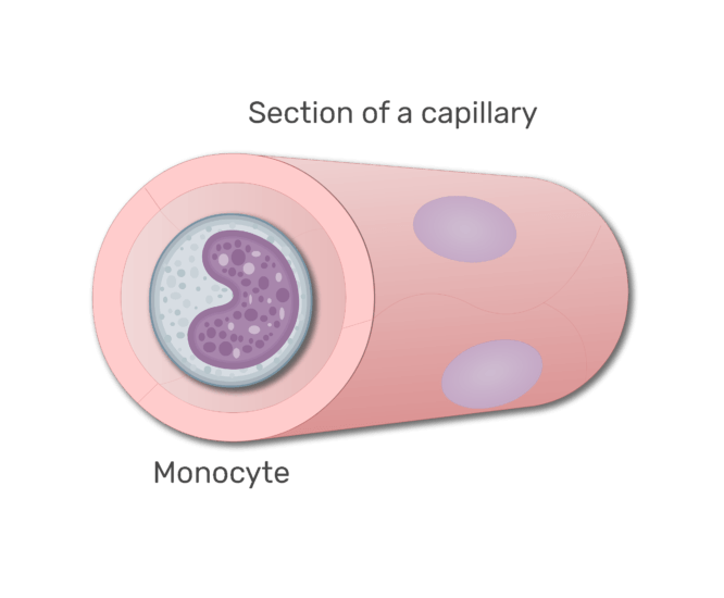 A monocyte in a section in capillary animation slide 8