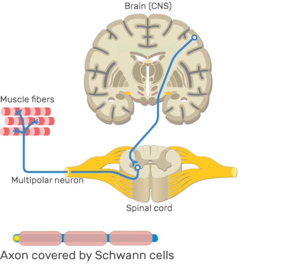 An image showing the action potential passing through the axon of multipolar neurons which is covered by Schwann cells