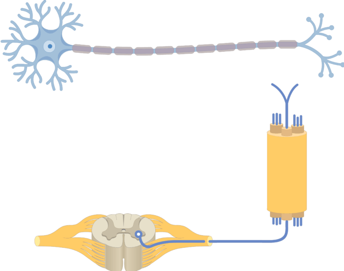 Am image showing the basic structure of the multipolar neuron