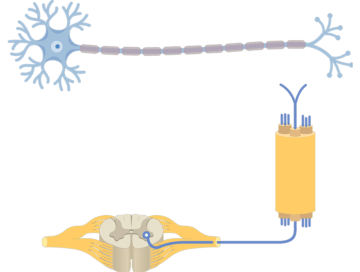 Multipolar Neurons - Structure and Functions - Featured