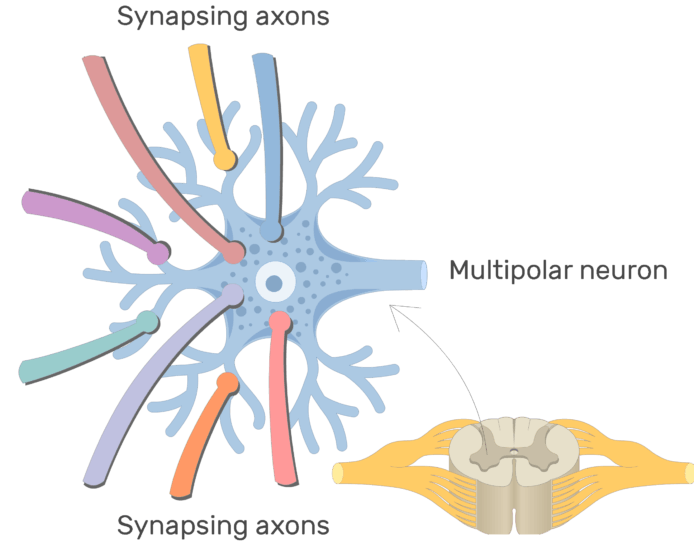 An image showing the synapsing axons on the dendrites of a multipolar neuron, with labeles for synapsing axons and multipolar neuron