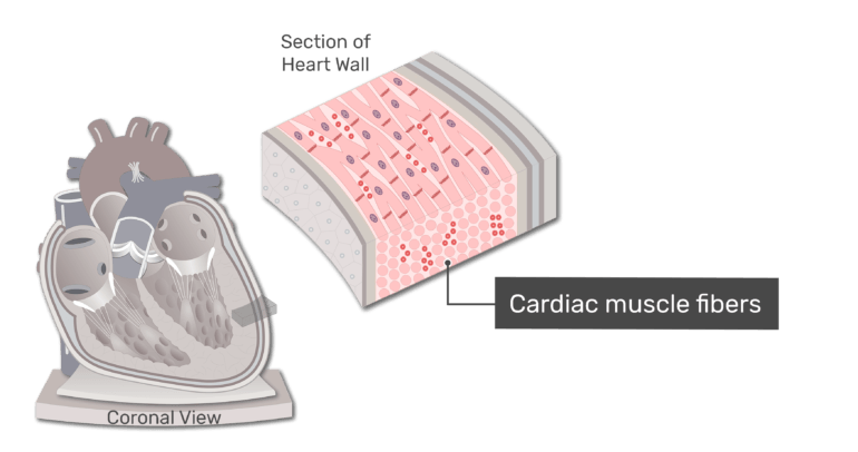 Section of the heart wall with the myocardium highlighted and the cardiac muscle fibers labelled.