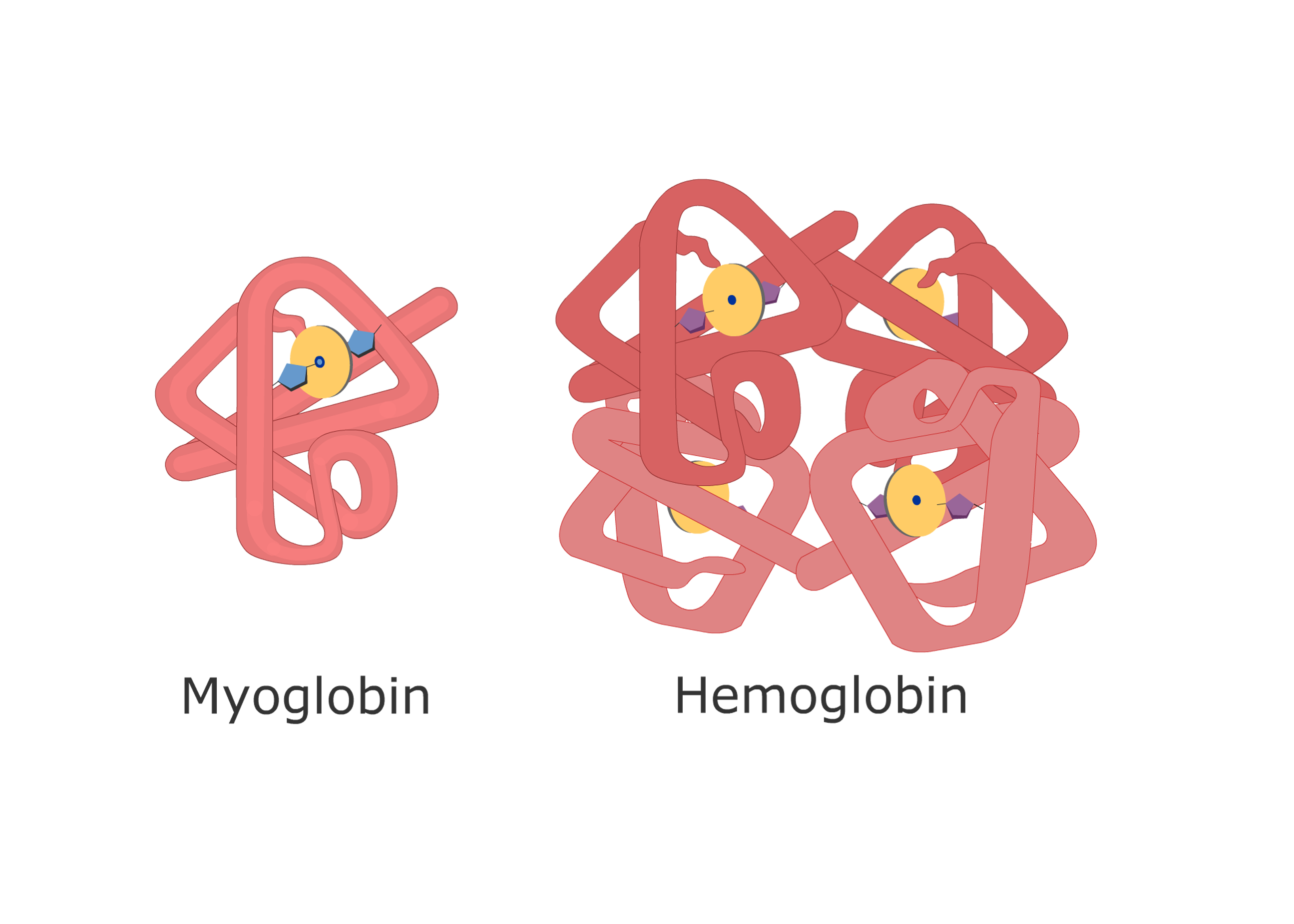 The myoglobin and hemoglobin molecules